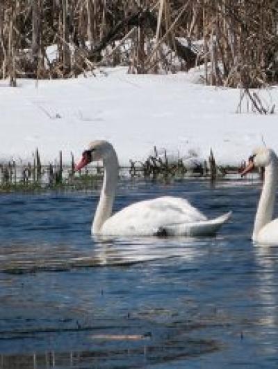 лебеди 3